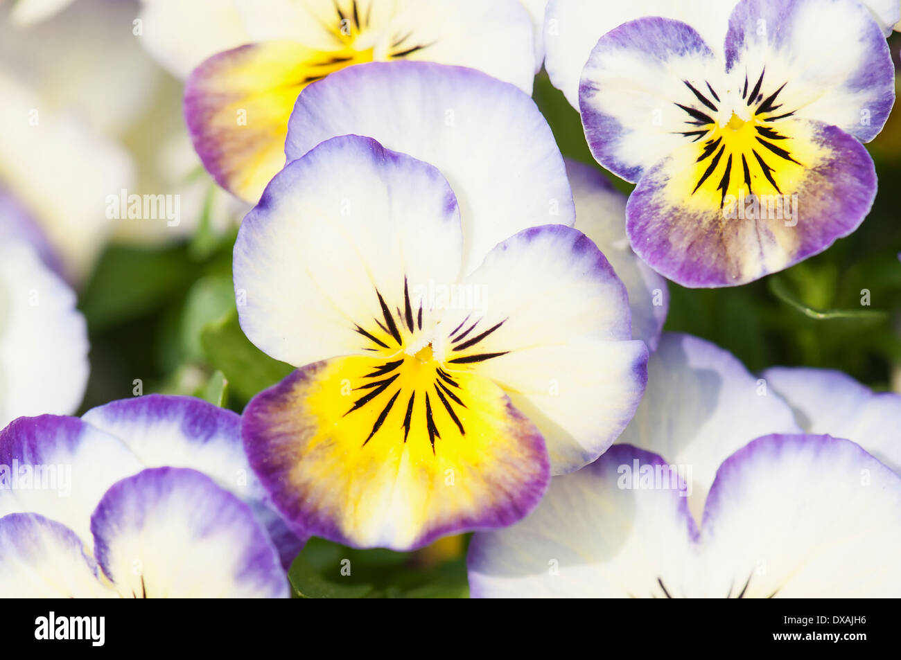 Viola, close up of the brightly coloured flowers. - Stock Image