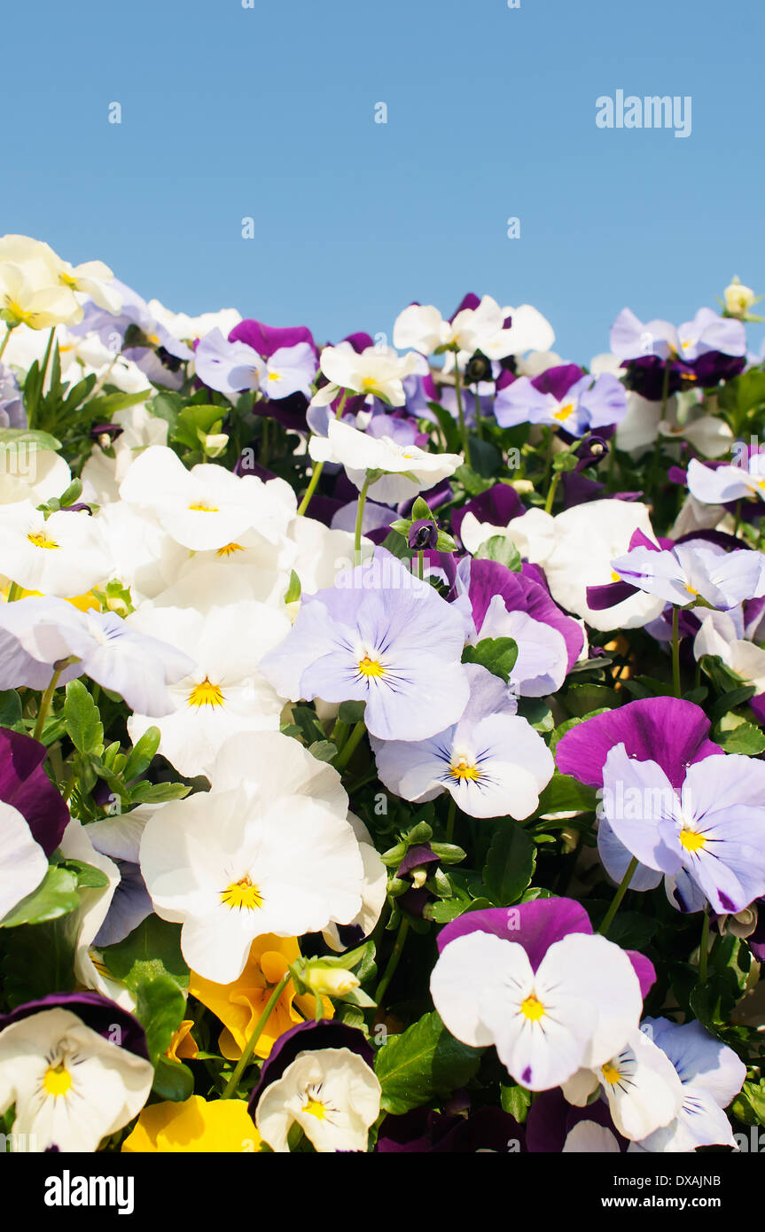 Viola, mass of brightly coloured flowers growing outdoor with blue sky. - Stock Image