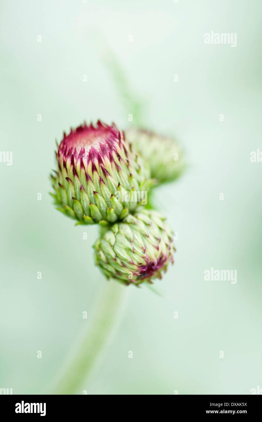 Plume thistle, Cirsium rivulare 'Atropurpureum', close up of buds. - Stock Image