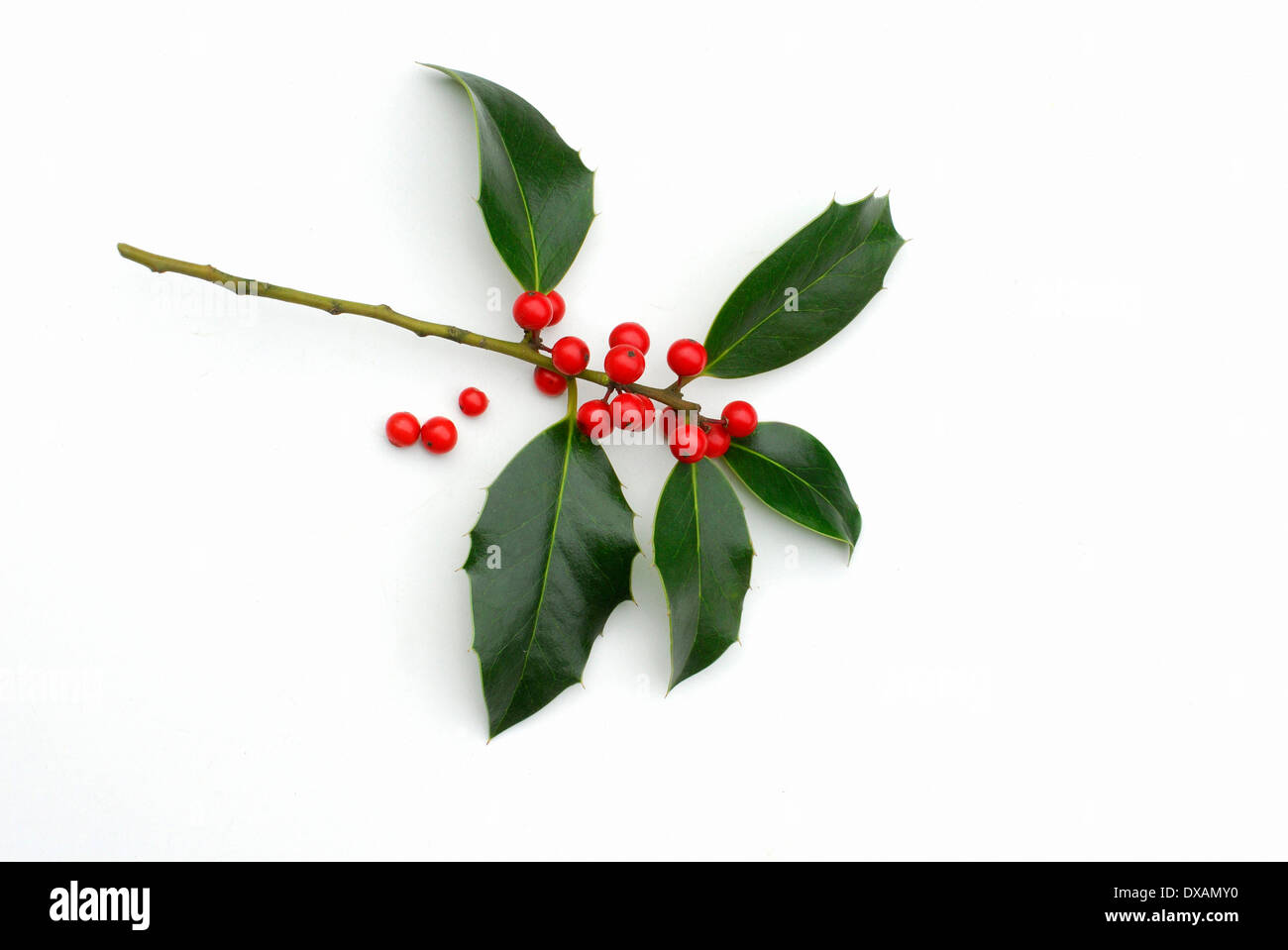 Holly Berries Cut Out Stock Photos & Holly Berries Cut Out