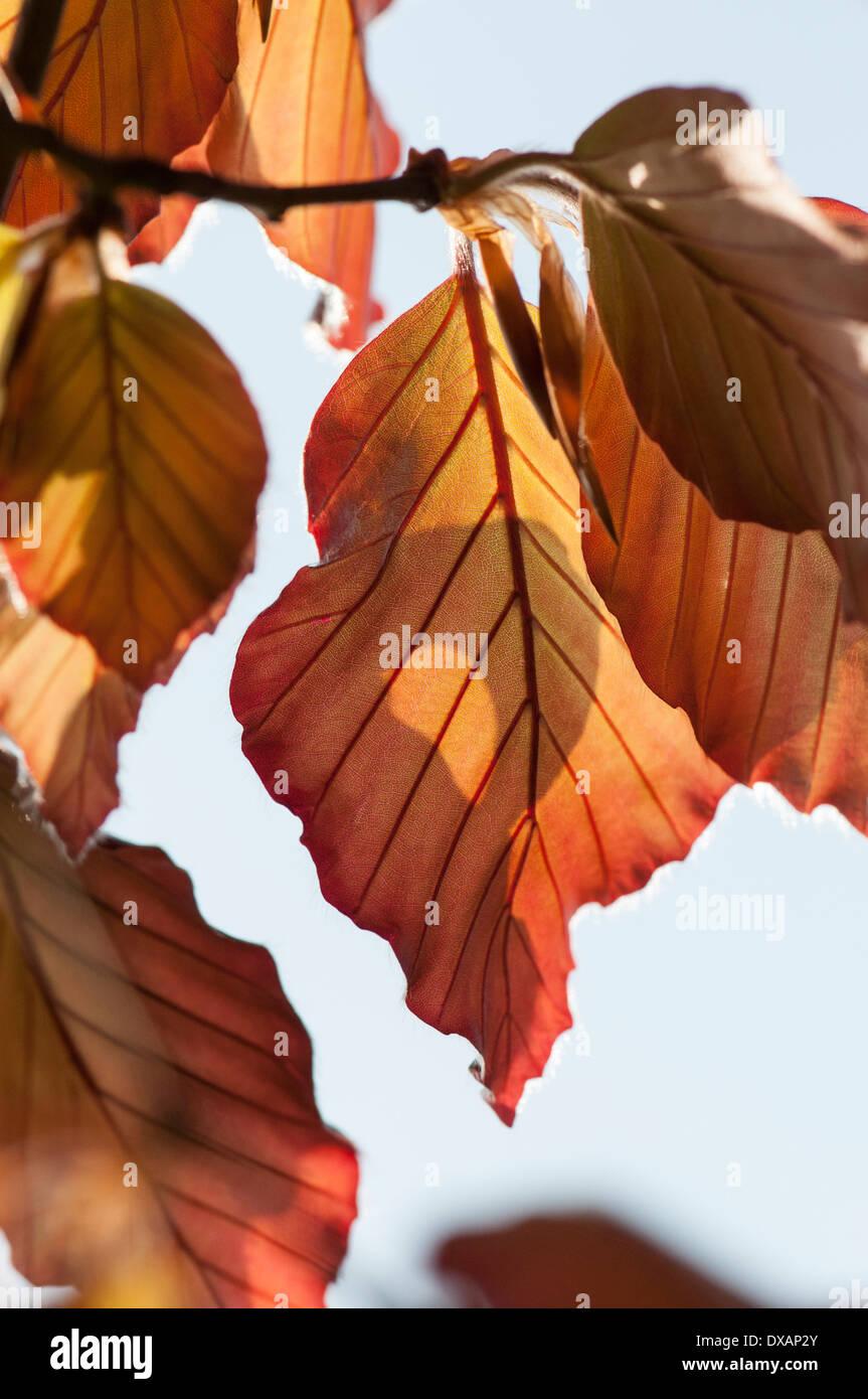 Beech , Copper beech, Fagus sylvatica purpurea, bronze coloured leaves on tree. Stock Photo