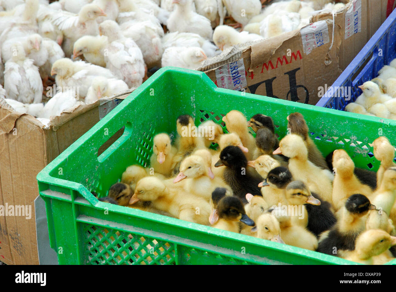 Chicks and Ducklings - Stock Image