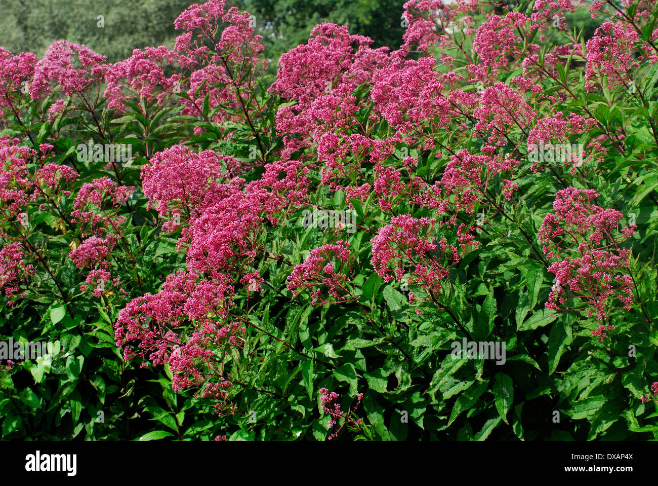 Sweet Joe-pye Weed - Stock Image
