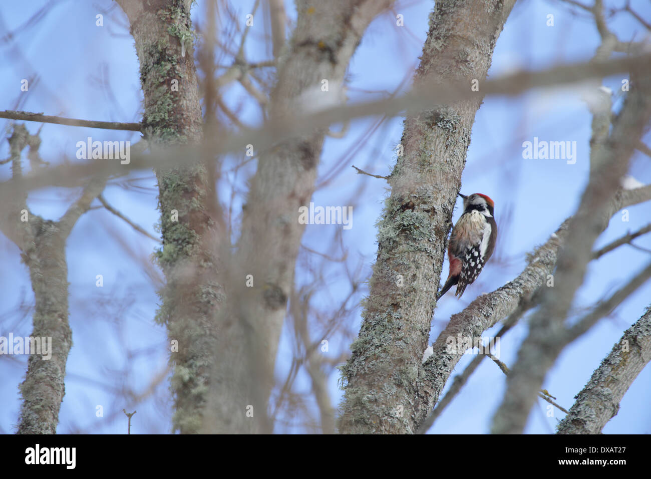 Middle Spotted Woodpecker (Dendrocopos medius), Europe Stock Photo