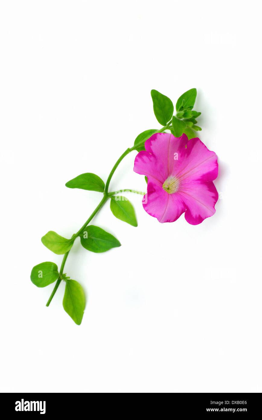 Petunia - Stock Image