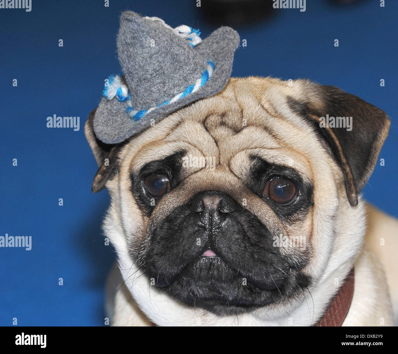 Munich, Germany. 22nd Mar, 2014. Pug 'Luki' wears a Bavaria cap during the pug casting at the Munich Pet Fair (21-23 March 2014) in Munich, Germany, 22 March 2014. The money raised from this event will be donated to the association 'Ein Herz für kranke Tiere e.V.' (lit. a heart for sick animals). Photo: Ursula Dueren/dpa/Alamy Live News - Stock Image
