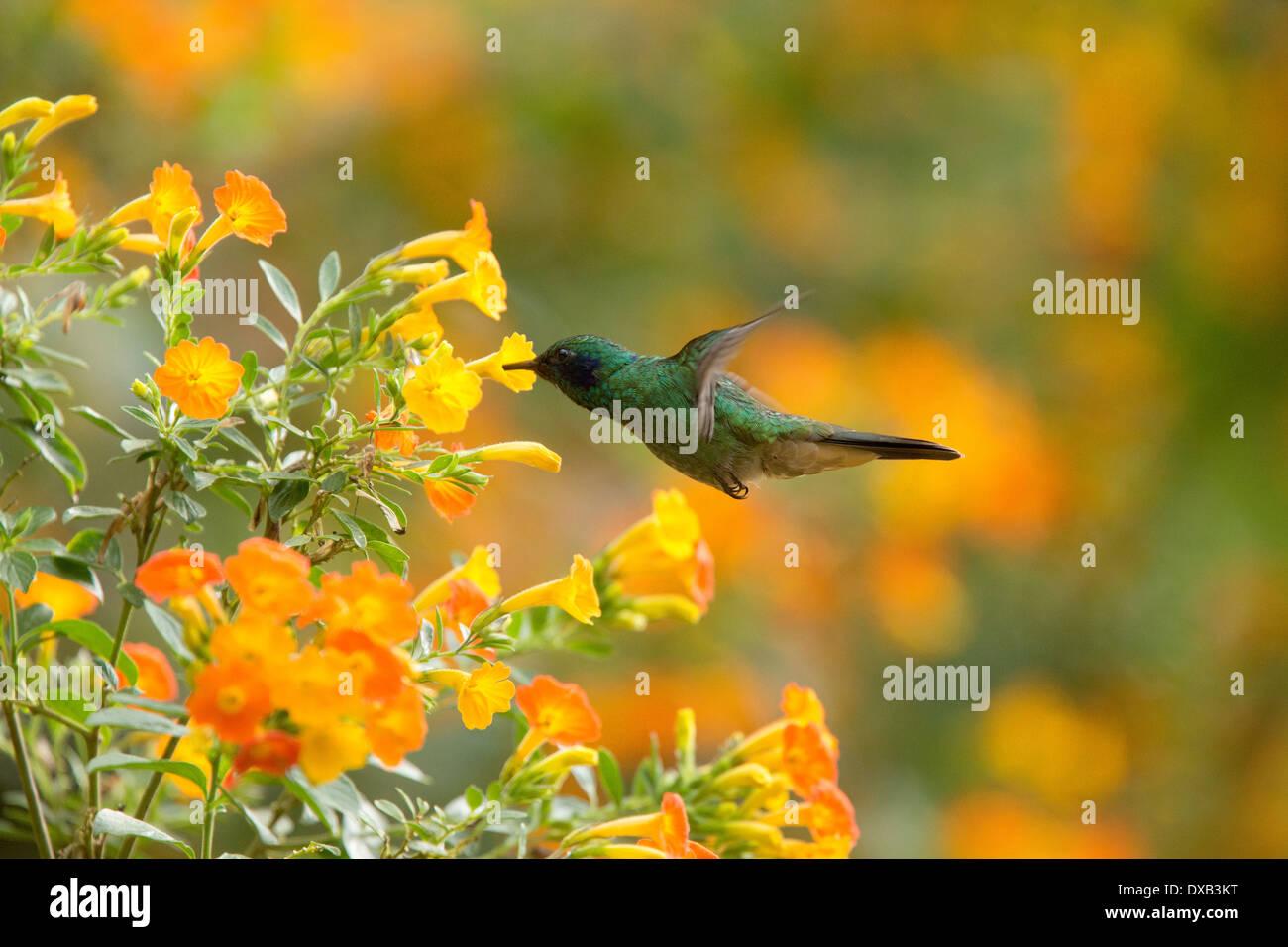 A Green Violetear hummingbird, (Colibri thallasinus) feeding on nectar from flowers Santa Marta Colombia. - Stock Image