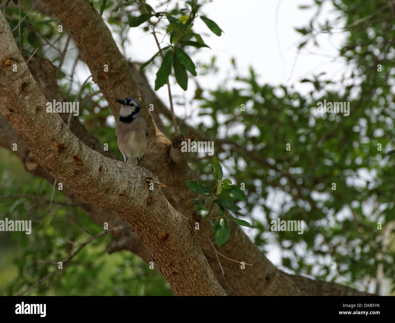 Blue Jay up in a tree, head tilted to the side, considering camera - Stock Image