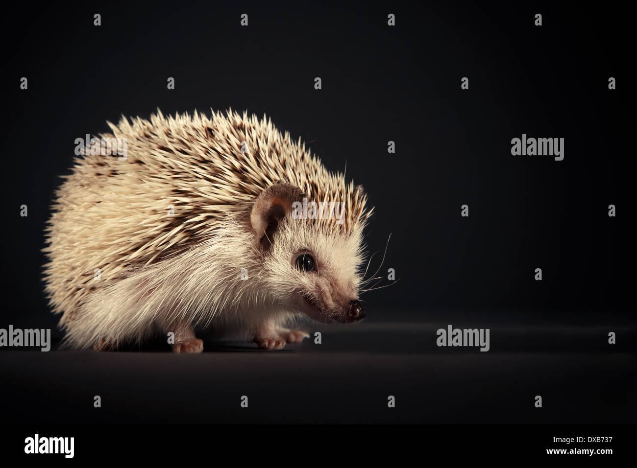 Hedgehog baring teeth to camera. - Stock Image