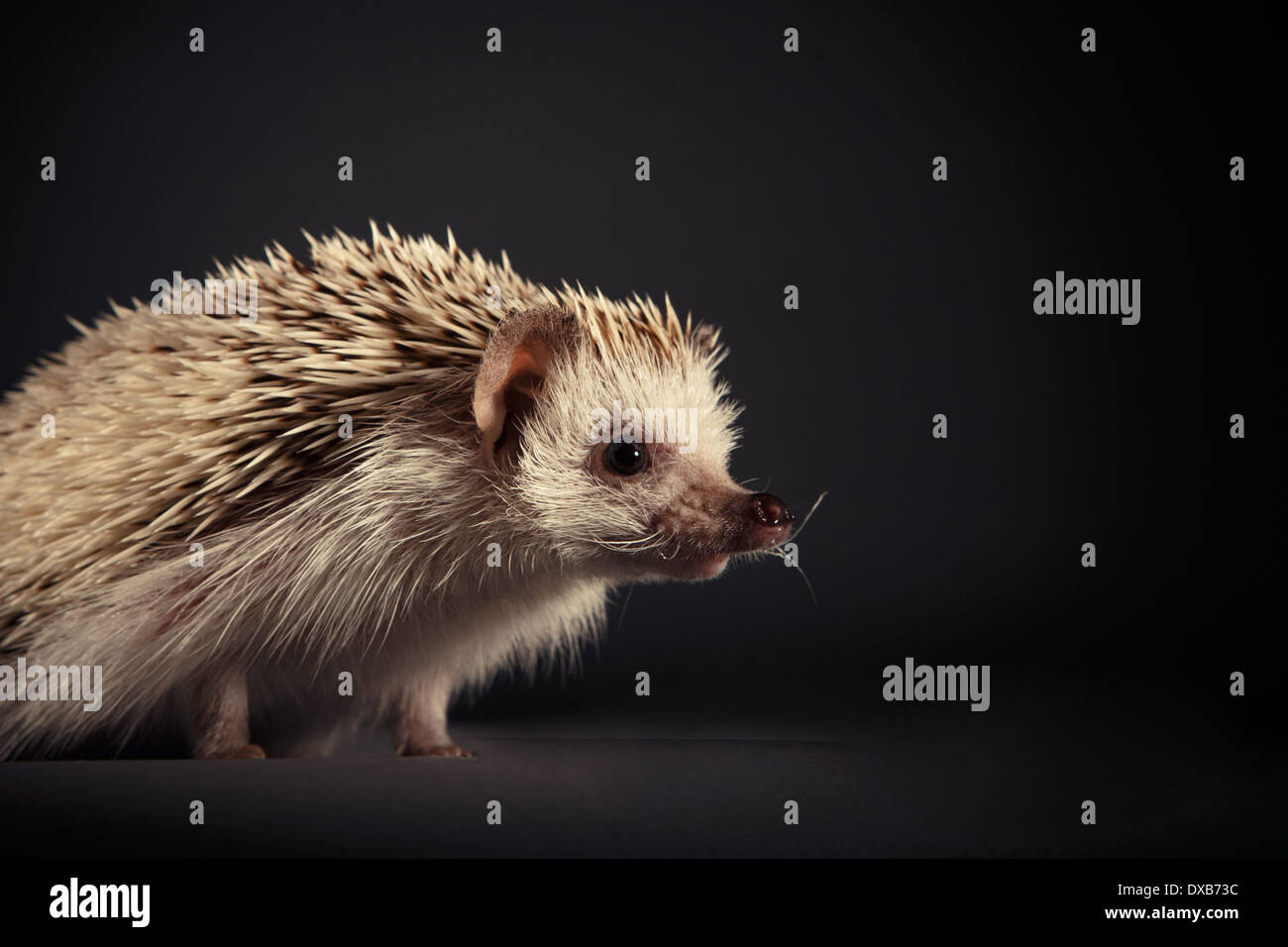 Studio portrait of a hedgehog on a black background. - Stock Image