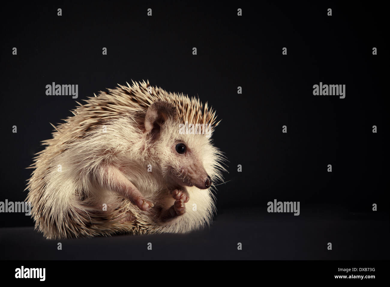 Hedgehog rolled into a ball. Stock Photo