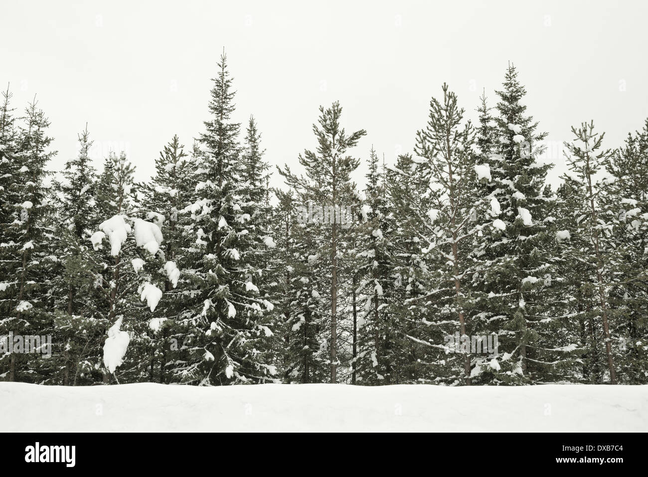 Scandinavia - Snow Covered Forest in Northern Sweden - Stock Image