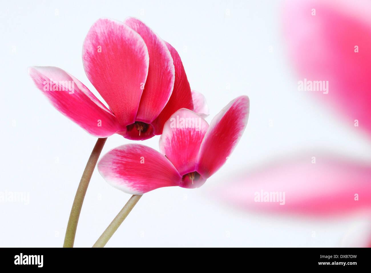 Cyclamen - Stock Image