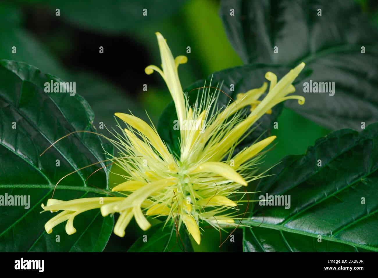 Golden Plume - Stock Image