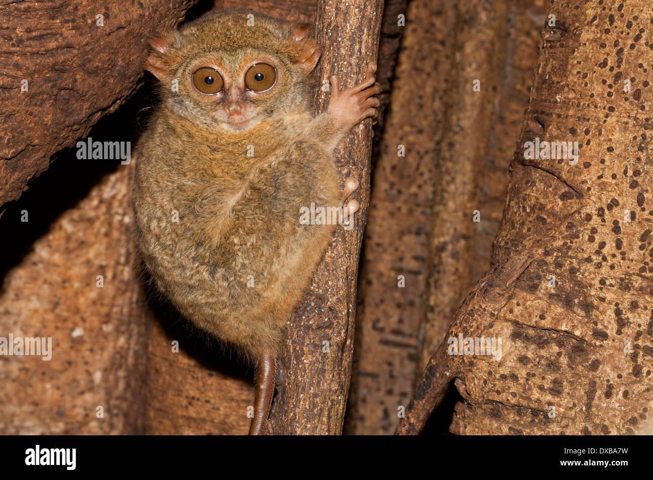 Spectral Tarsier, Tarsius tarsier, Tangkoko Naitonal Park, Sulawesi Indonesia - Stock Image
