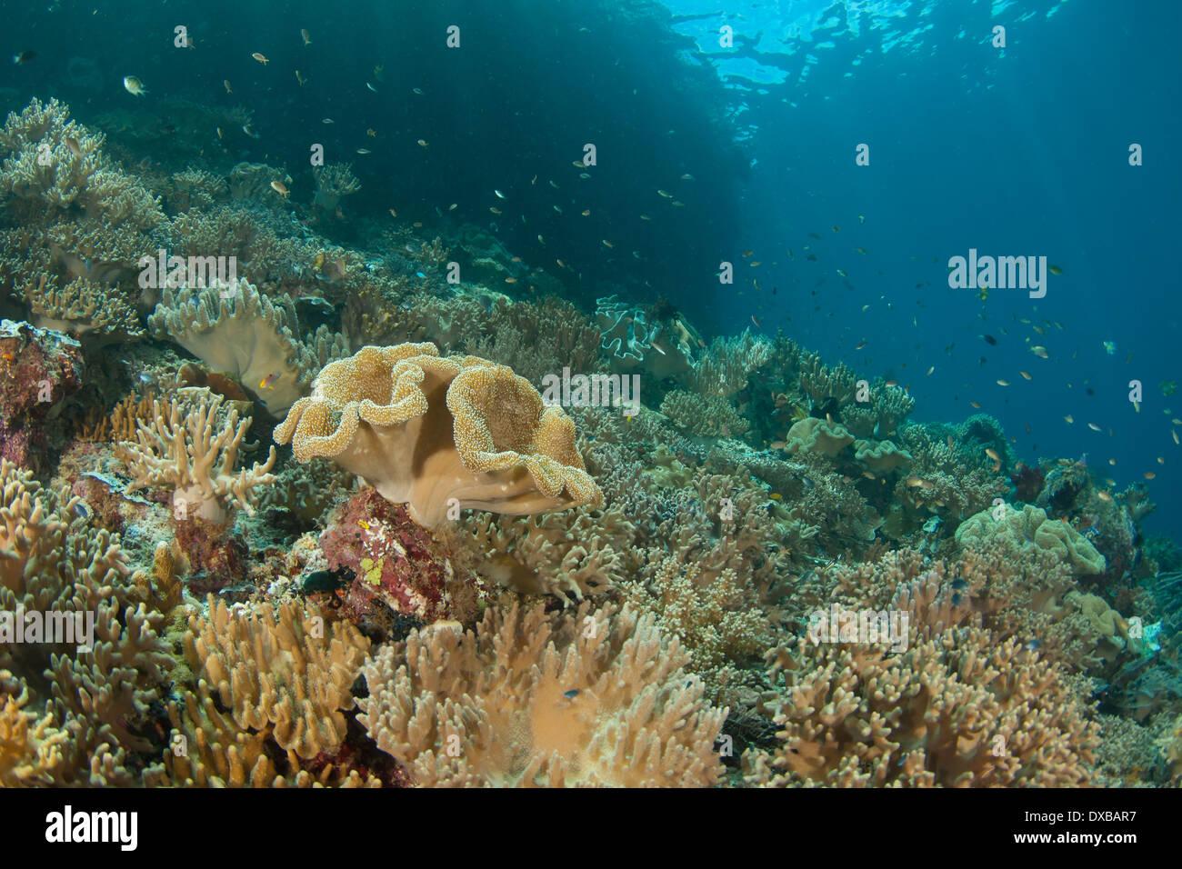 Coral reef, Penemu Reef dive site, Fam Island, Raja Ampat, Indonesia - Stock Image