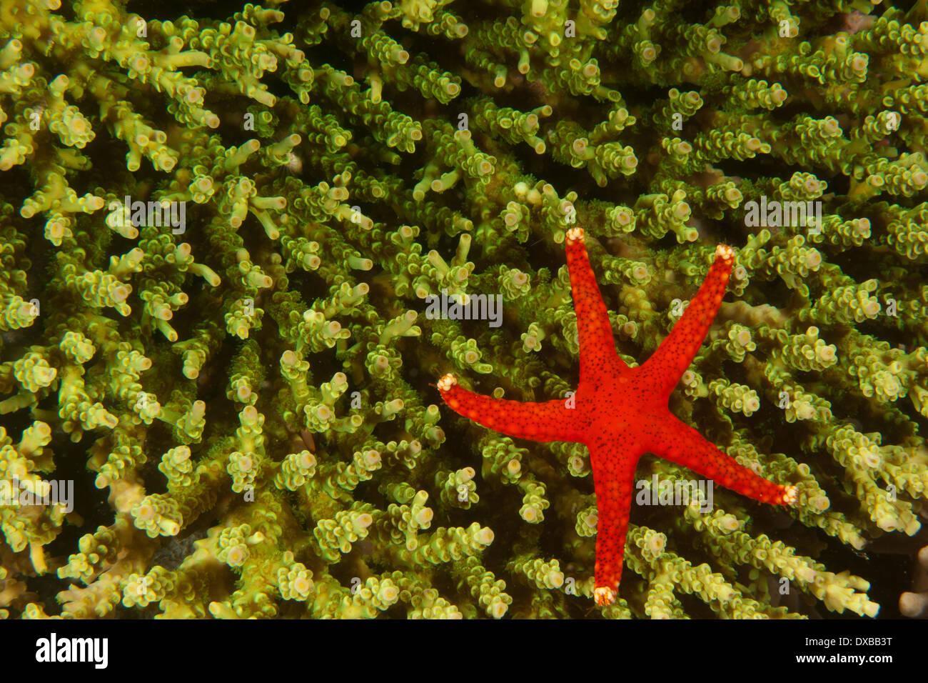 Sea Star (starfish) on coral reef, Lalosi dive site, Arborex Island, Raja Ampat, Indonesia - Stock Image