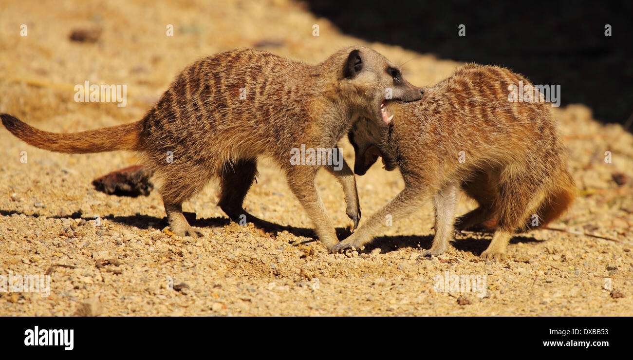 A Meerkat exerting dominance during a dispute. - Stock Image