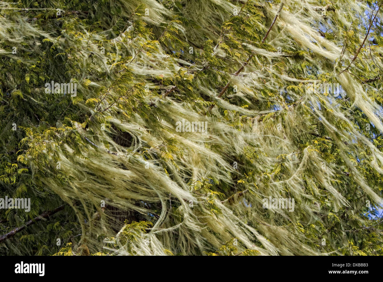 Lichen blowing in wind on tree. Stock Photo