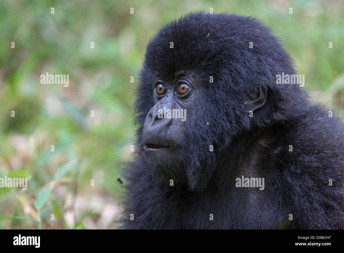 Mountain Gorilla (Gorilla gorilla beringei) side portrait of juvenile's face, Parc National des Volcans, Rwanda Stock Photo