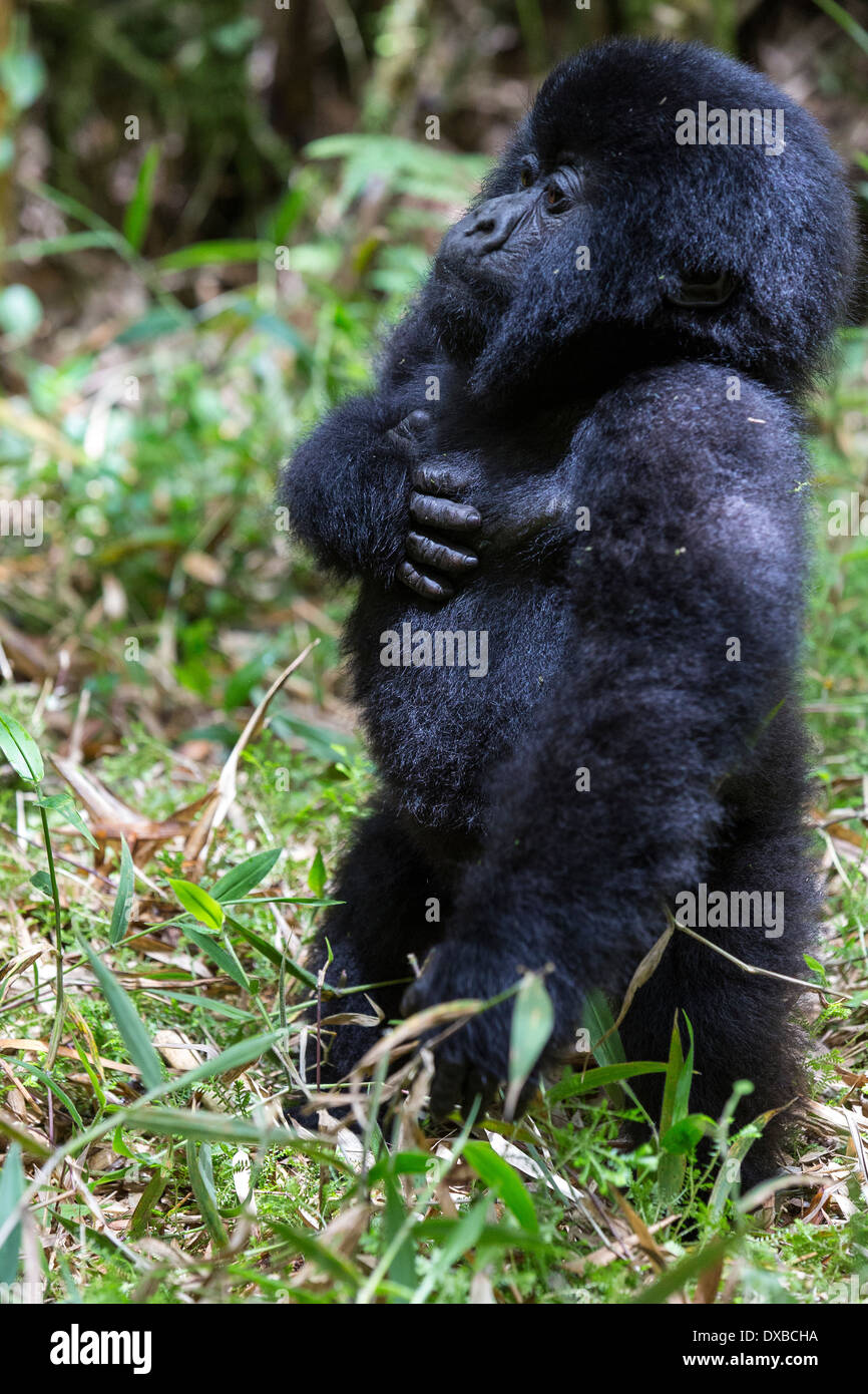 Mountain gorilla (Gorilla gorilla beringei) infant with standing hand on heart, Parc National des Volcans, Rwanda - Stock Image