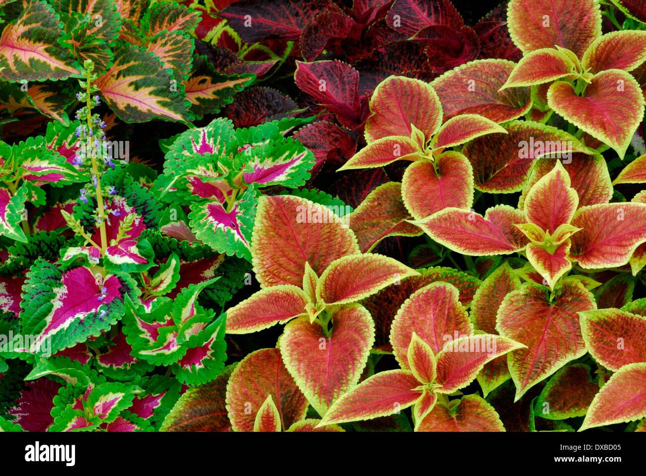 Solenostemon scutellarioides Stock Photo