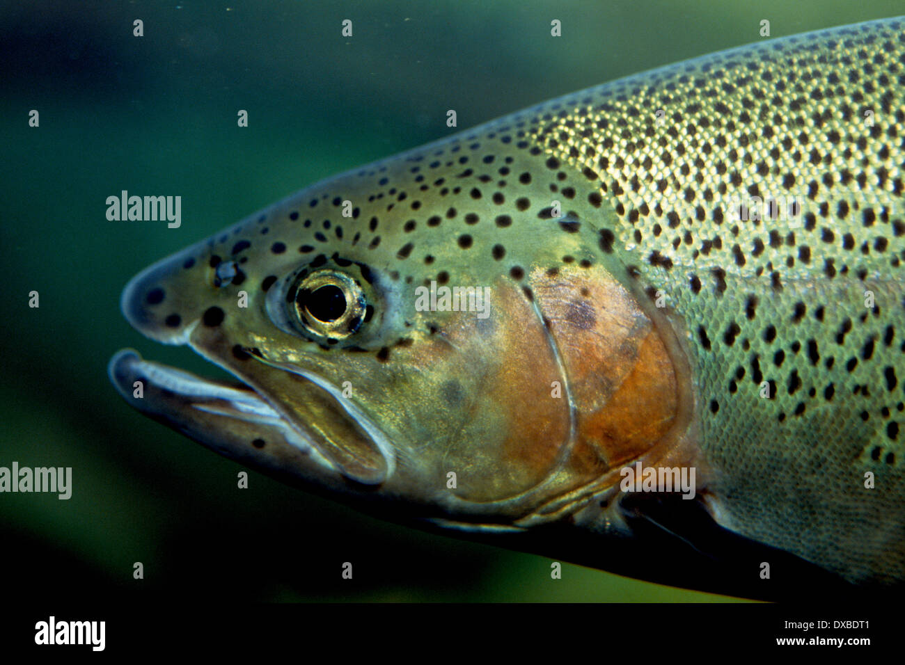 Gill Cover Fish Stock Photos & Gill Cover Fish Stock Images - Alamy