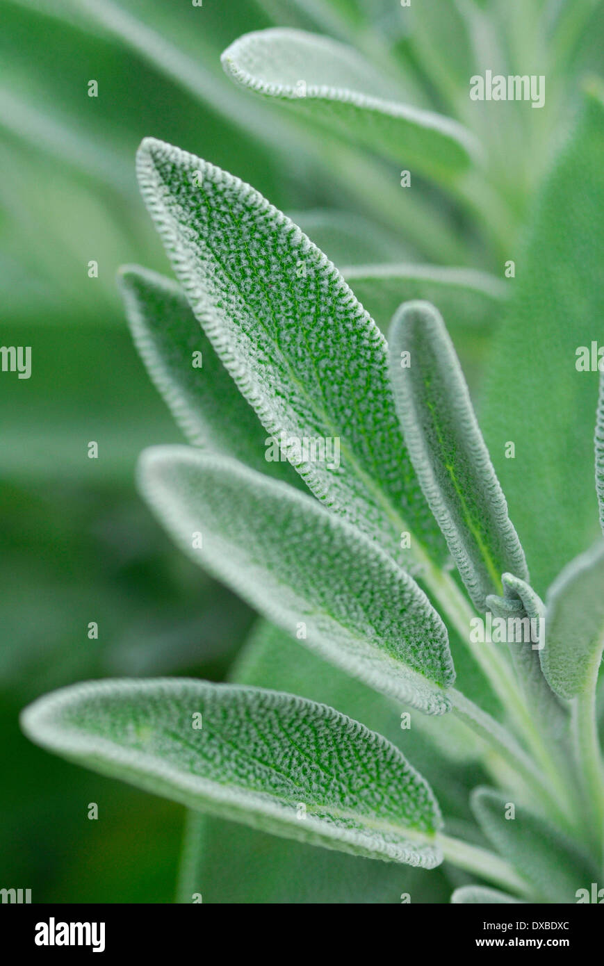Salvia officinalis - Stock Image