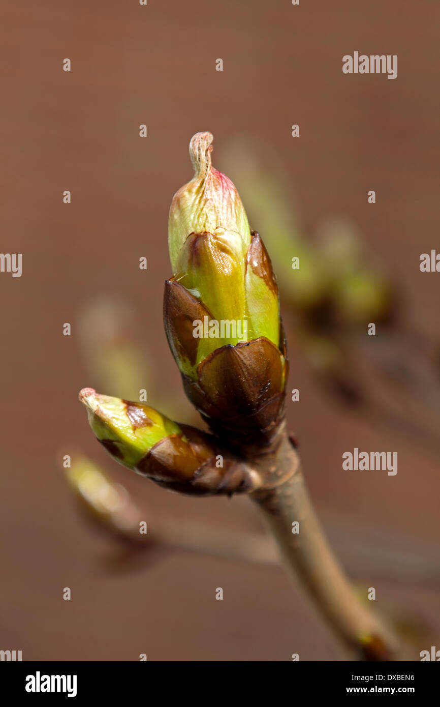 Close-up of a budbreaking chestnut tree (Aesculus hippocastanum) in spring on unfocused background. Stock Photo