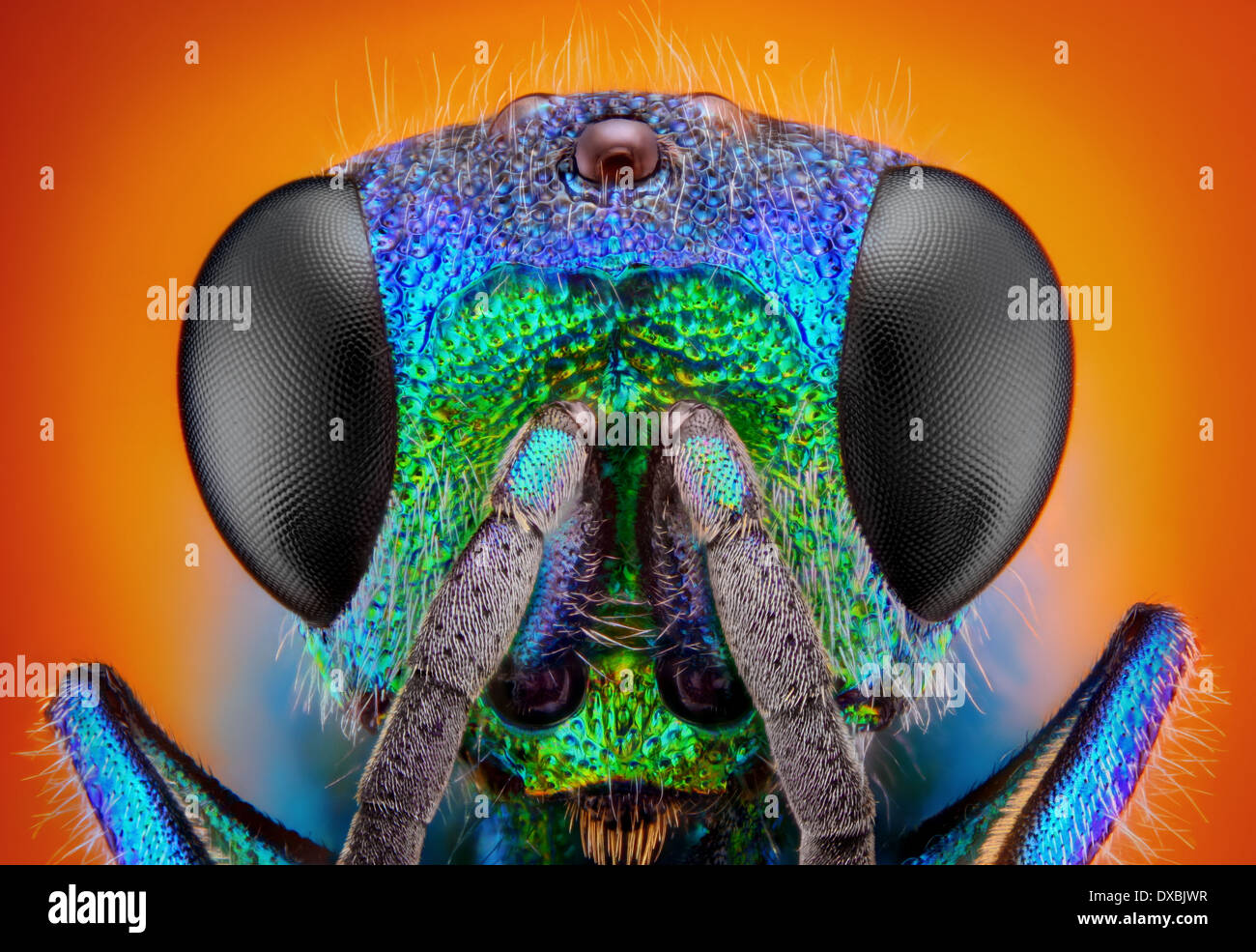 Extremely sharp and detailed study of a Cuckoo wasp (Holopyga Generosa) - 6 mm in body size - Stock Image