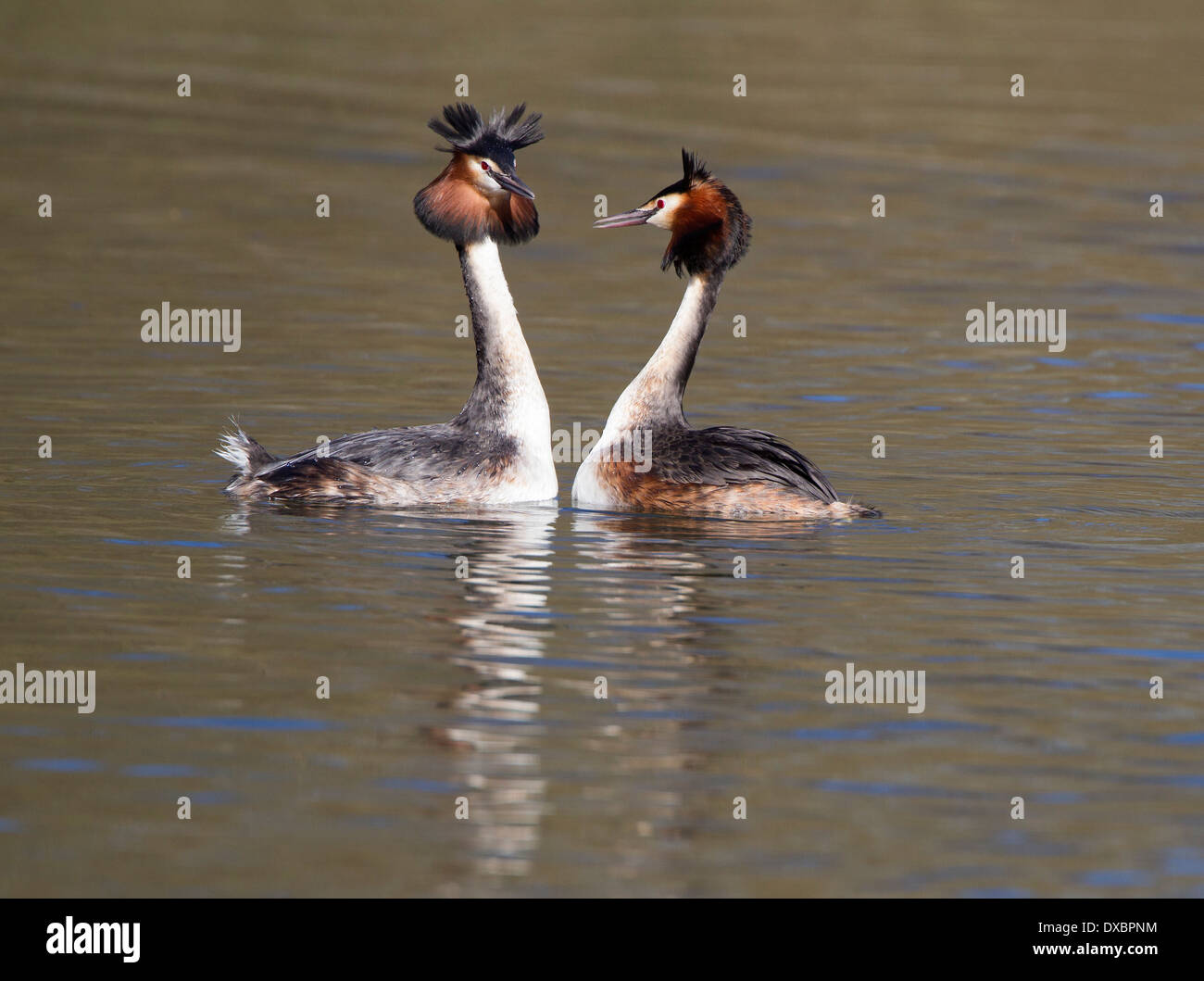 Pair of great crested grebes in courtship display; - Stock Image