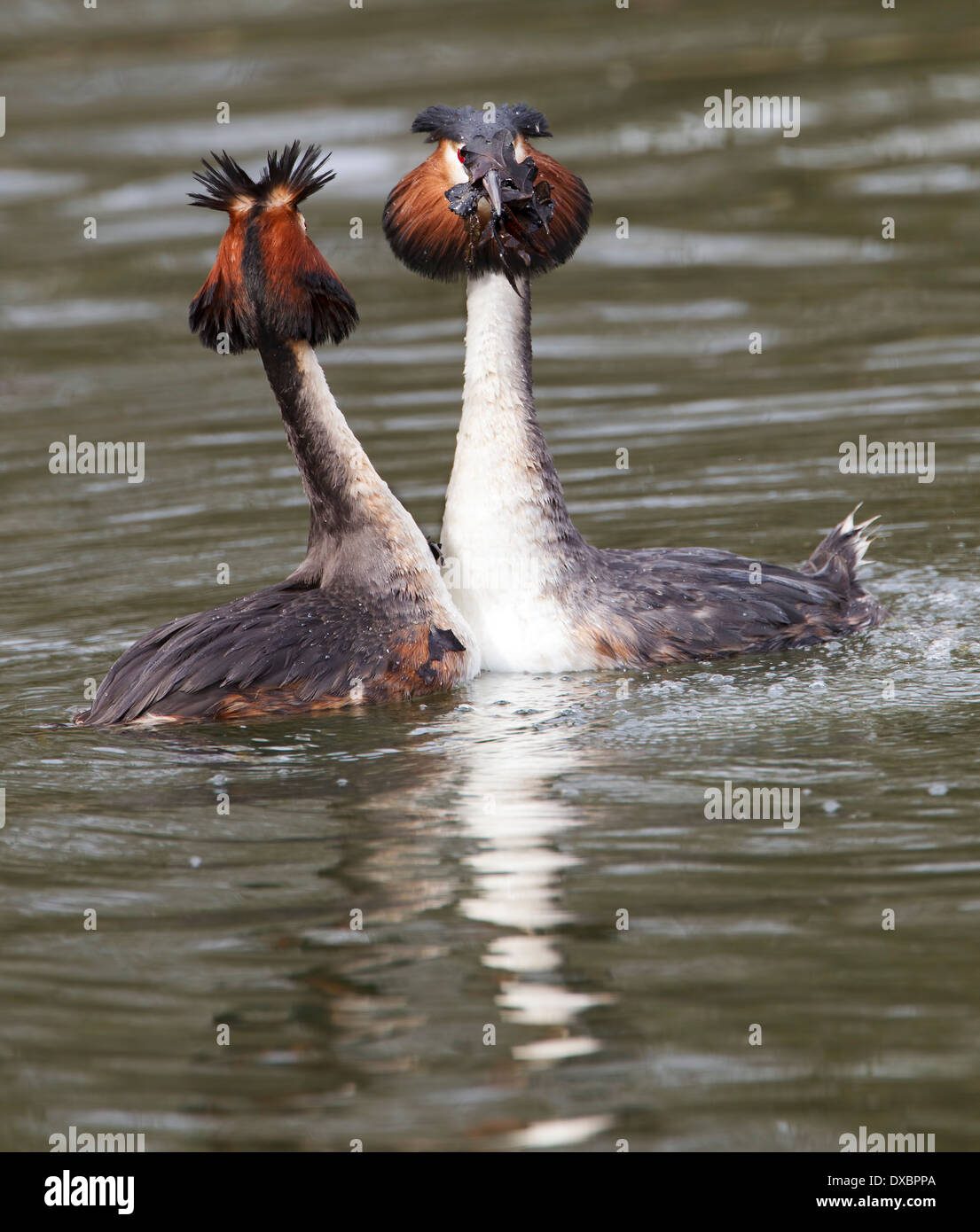 Pair of great crested grebes in courtship ritual; - Stock Image