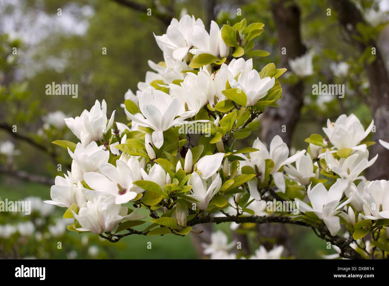 Branch of a white flowering magnolia tree stock photo 67871696 alamy branch of a white flowering magnolia tree mightylinksfo