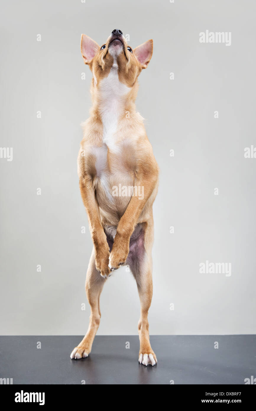 Dog standing on two legs, needing to go outside. - Stock Image