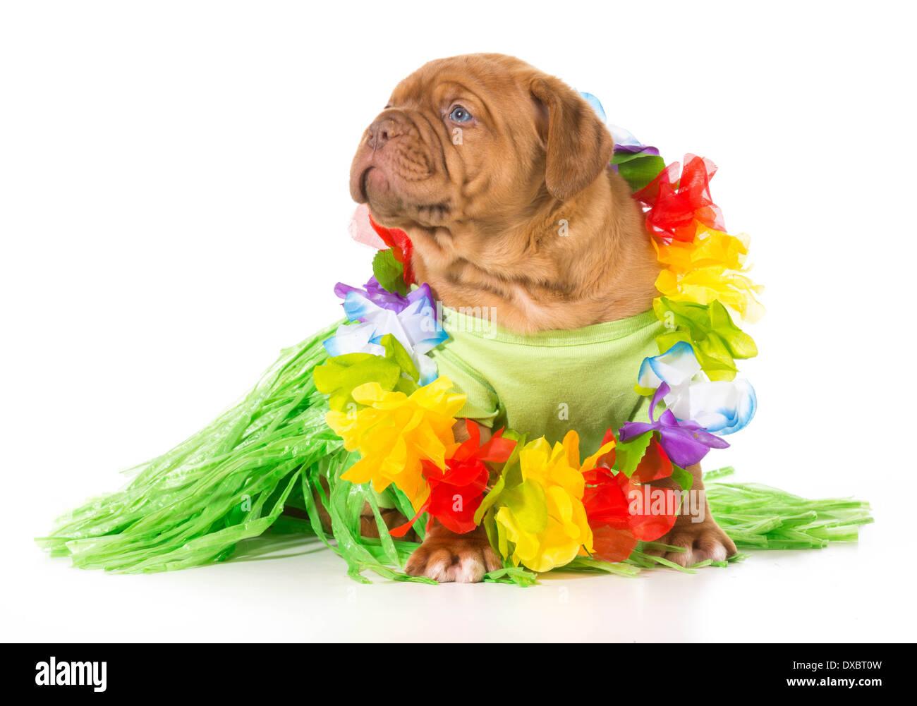 hula dog - dogue de bordeaux wearing grass skirt and lei - Stock Image