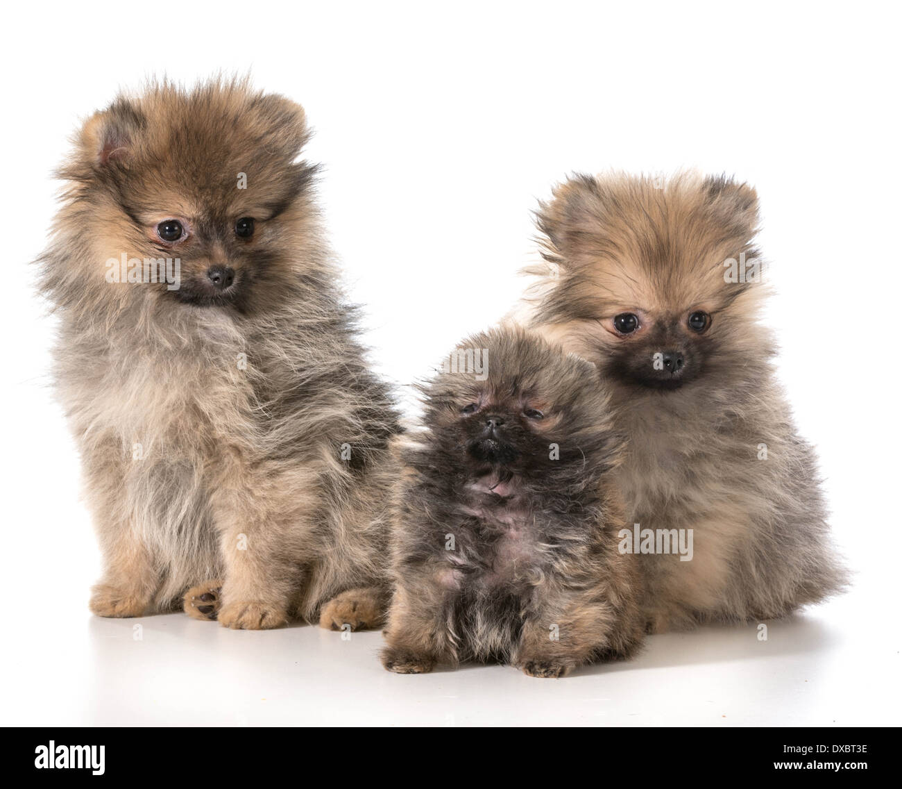 images of pomeranian puppies.html