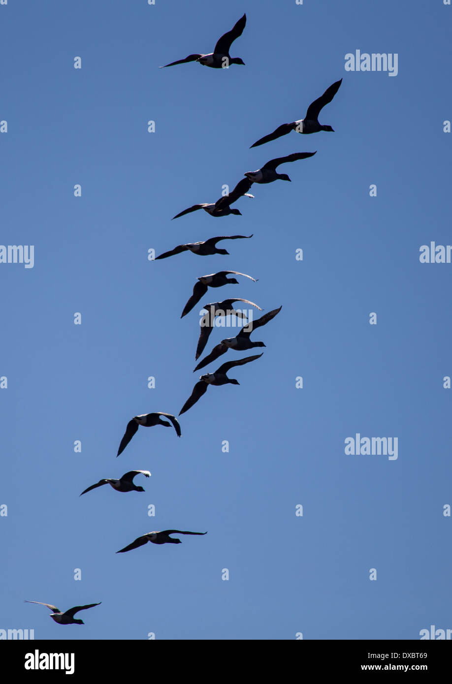 Brent geese flying in formation - Stock Image