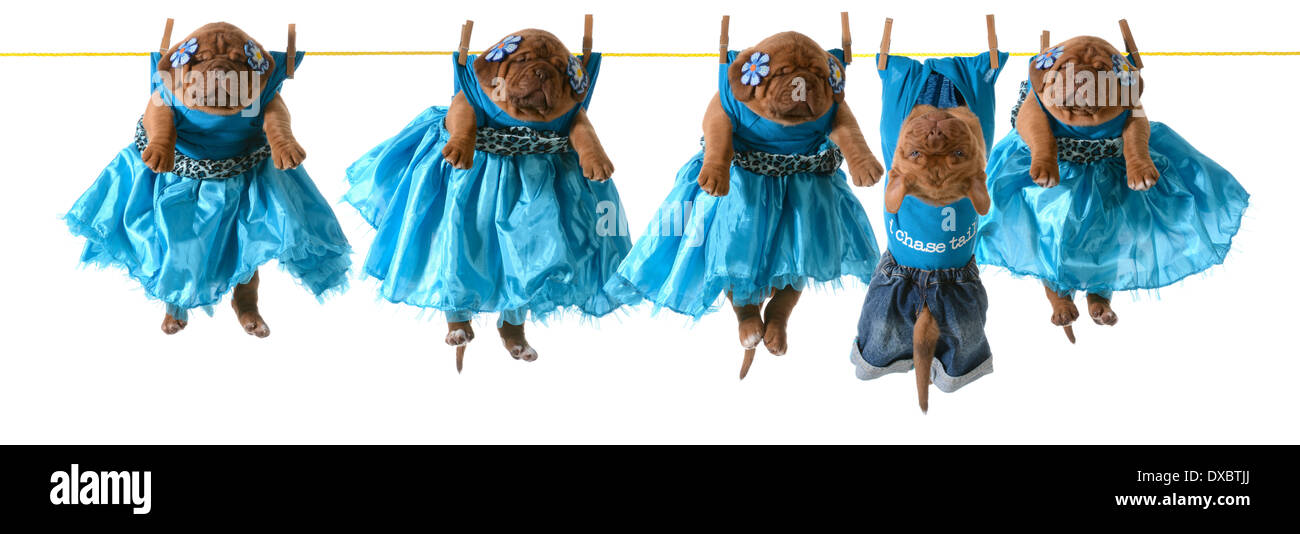dogs on a clothesline - dogue de bordeaux puppies hanging on wash line - Stock Image