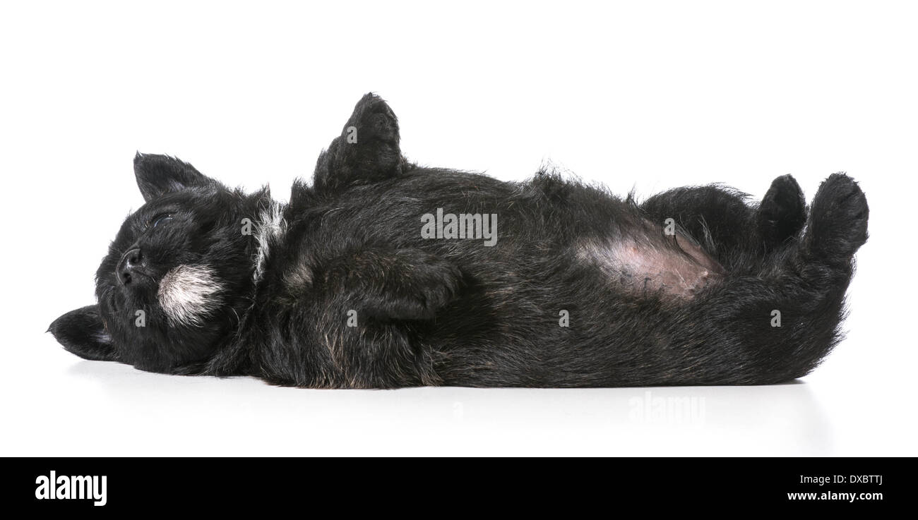 puppy laying upside down on back - scottish terrier 4 weeks old - Stock Image