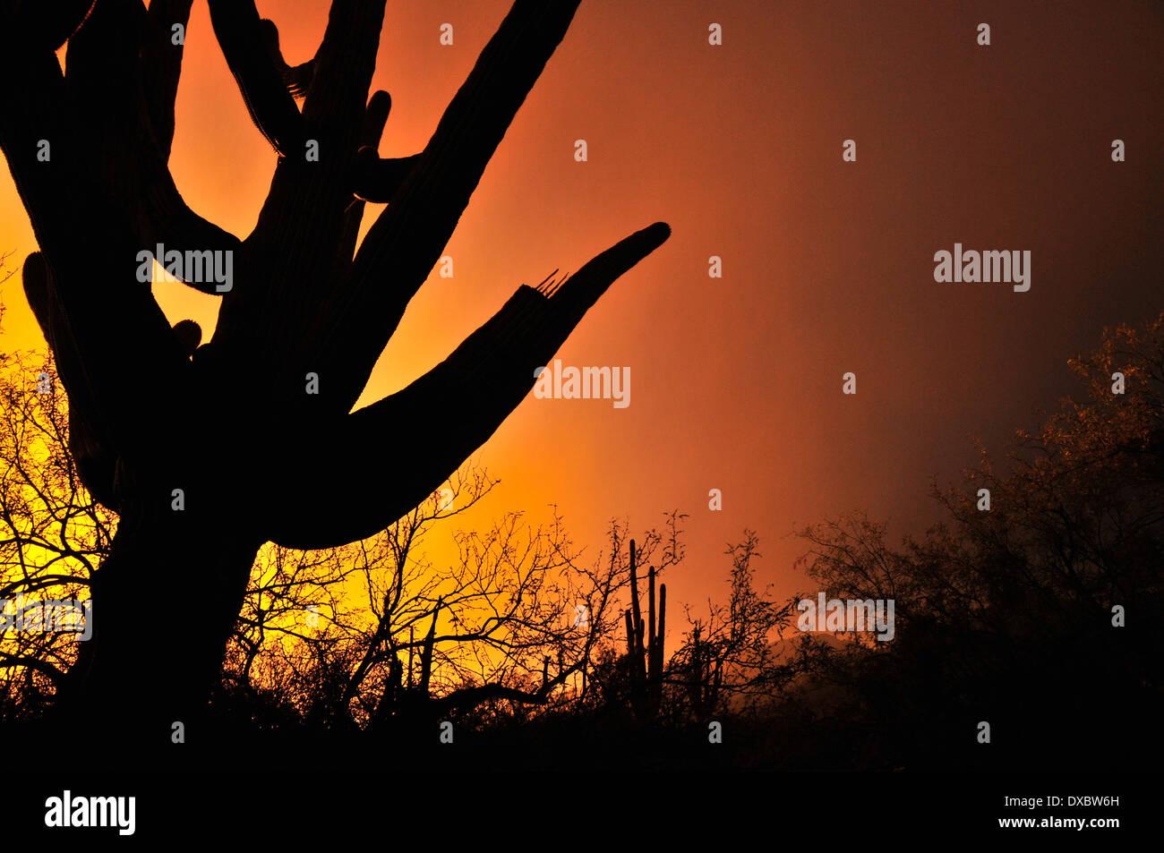 Saguaro cactus (Carnegiea gigantea) grow in the Sonoran Desert, Tucson, Arizona, USA. Stock Photo