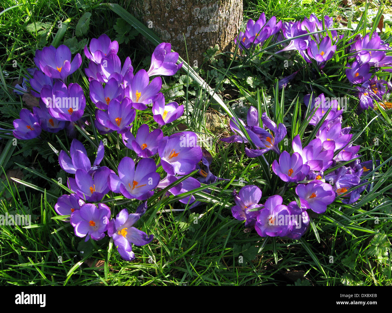 f539ba053a9af Beautiful Purple spring Crocus flowers in an English Country Garden - Stock  Image
