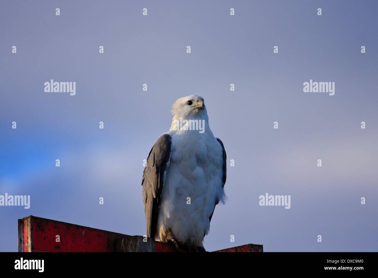 White-bellied Sea-Eagle  Haliaeetus leucogaster perched Stock Photo