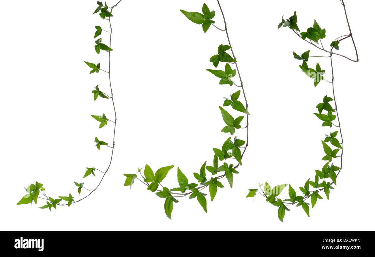Set of straight green ivy (Hedera) stem isolated on white background. Creeper Ivy stem with young green leaves. - Stock Image