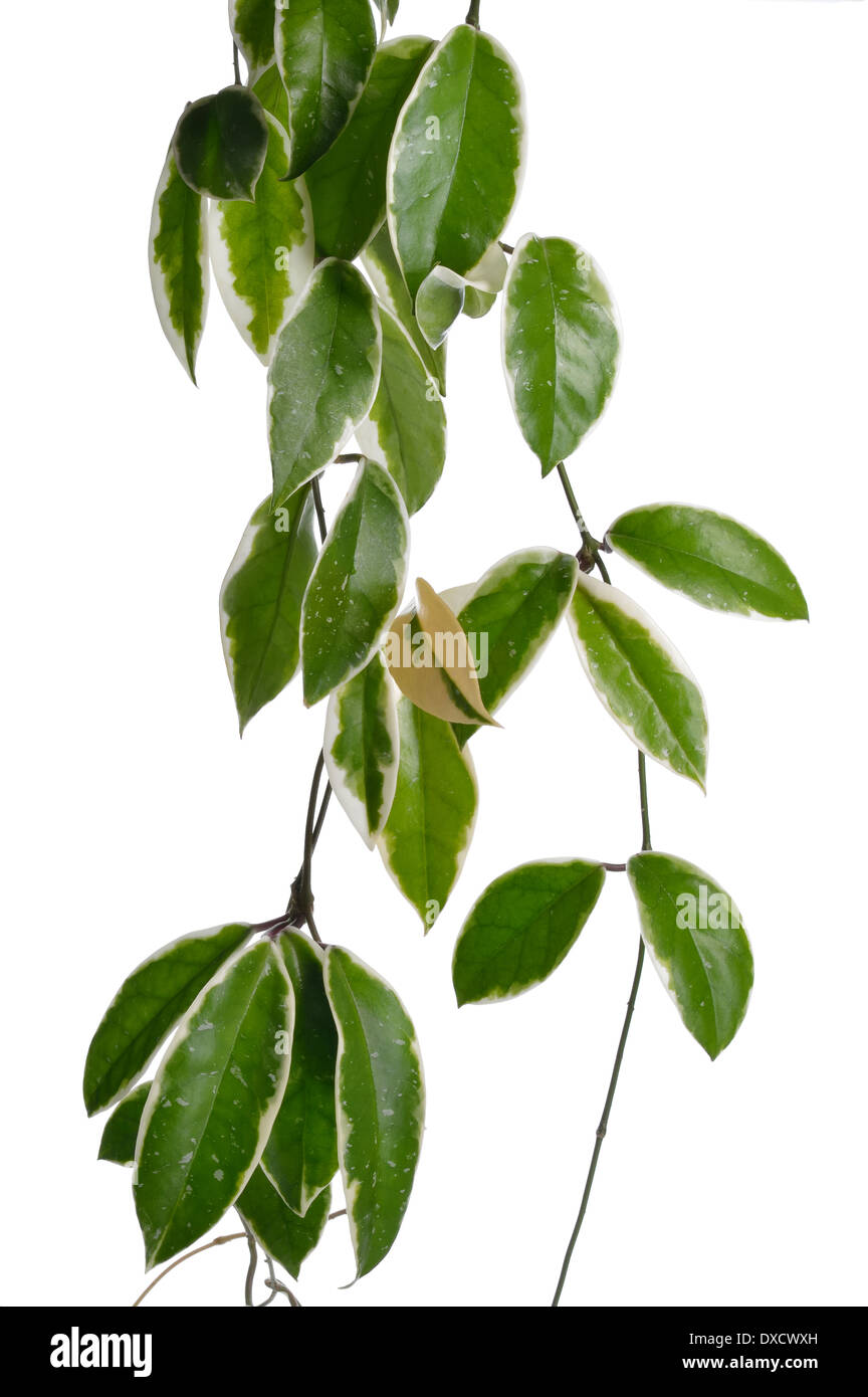 Hoya stems isolated on white background. Straight Hoya stems with white and green leaves. Tropical plant. Floral element. - Stock Image