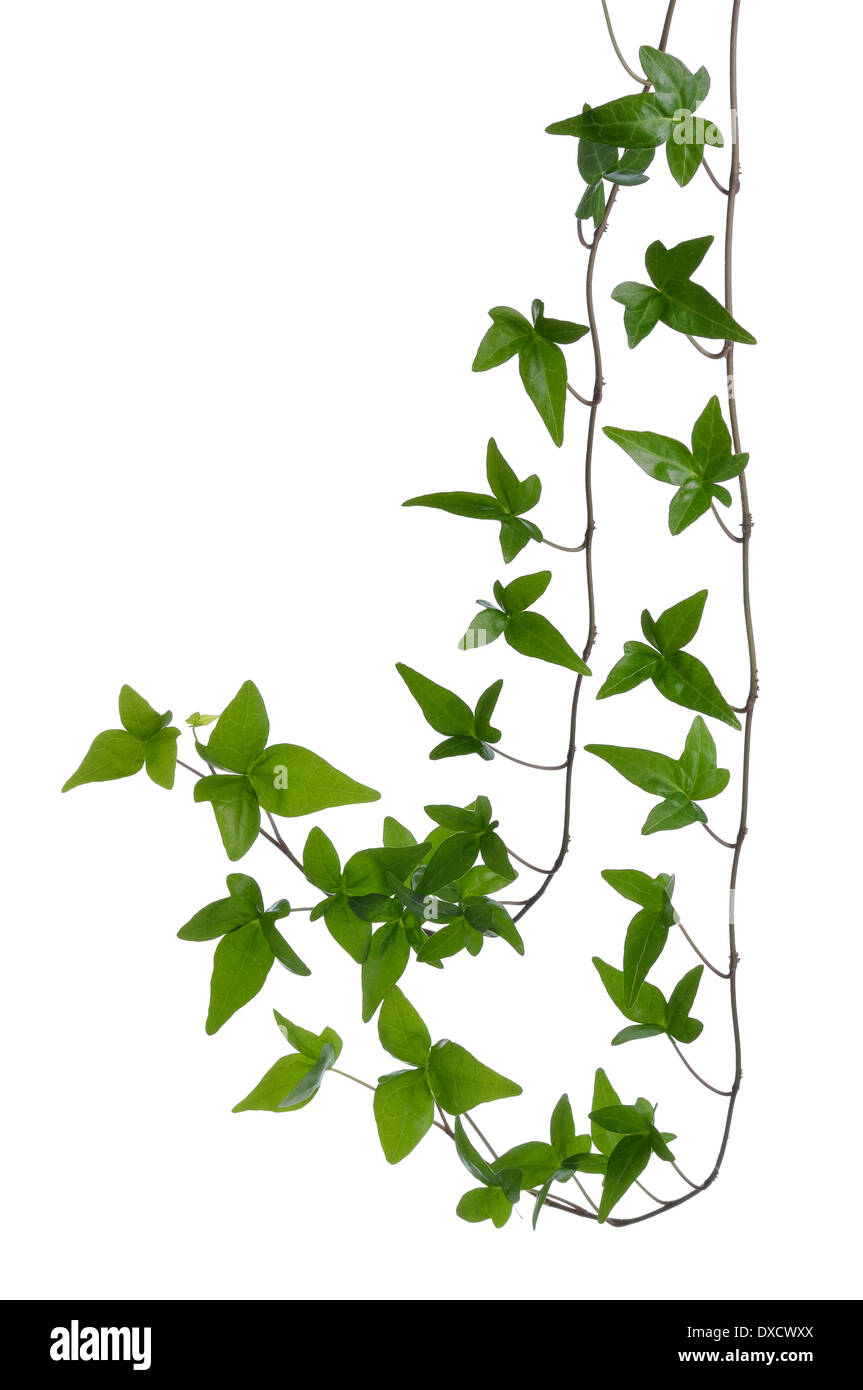 Two Green ivy (Hedera) stems isolated on white background. Creeper Ivy stem with young green leaves. - Stock Image