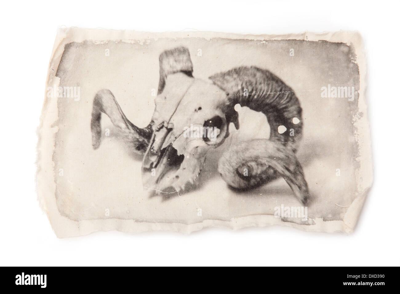 large rams skull liquid emulsion black and white print on cloth. - Stock Image