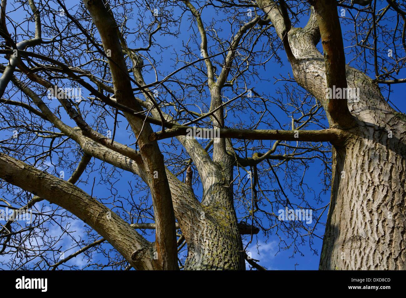 Big old tree trunk with branches and blue sky without leaves Germany Großer alter Baumstamm mit Zweigen Ästen bei blauem Himmel Stock Photo