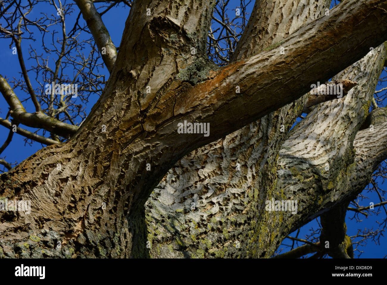 Big old tree trunk and branches without leaves with blue sky Großer alter Baum Baumstamm mit Zweigen ohne Blätter - Stock Image