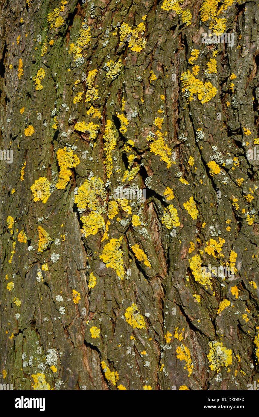yellow and grey lichen on a tree bark macro close up gelbe und graue Flechte auf einem Baumstamm Baumrinde Nahaufnahme Makro - Stock Image