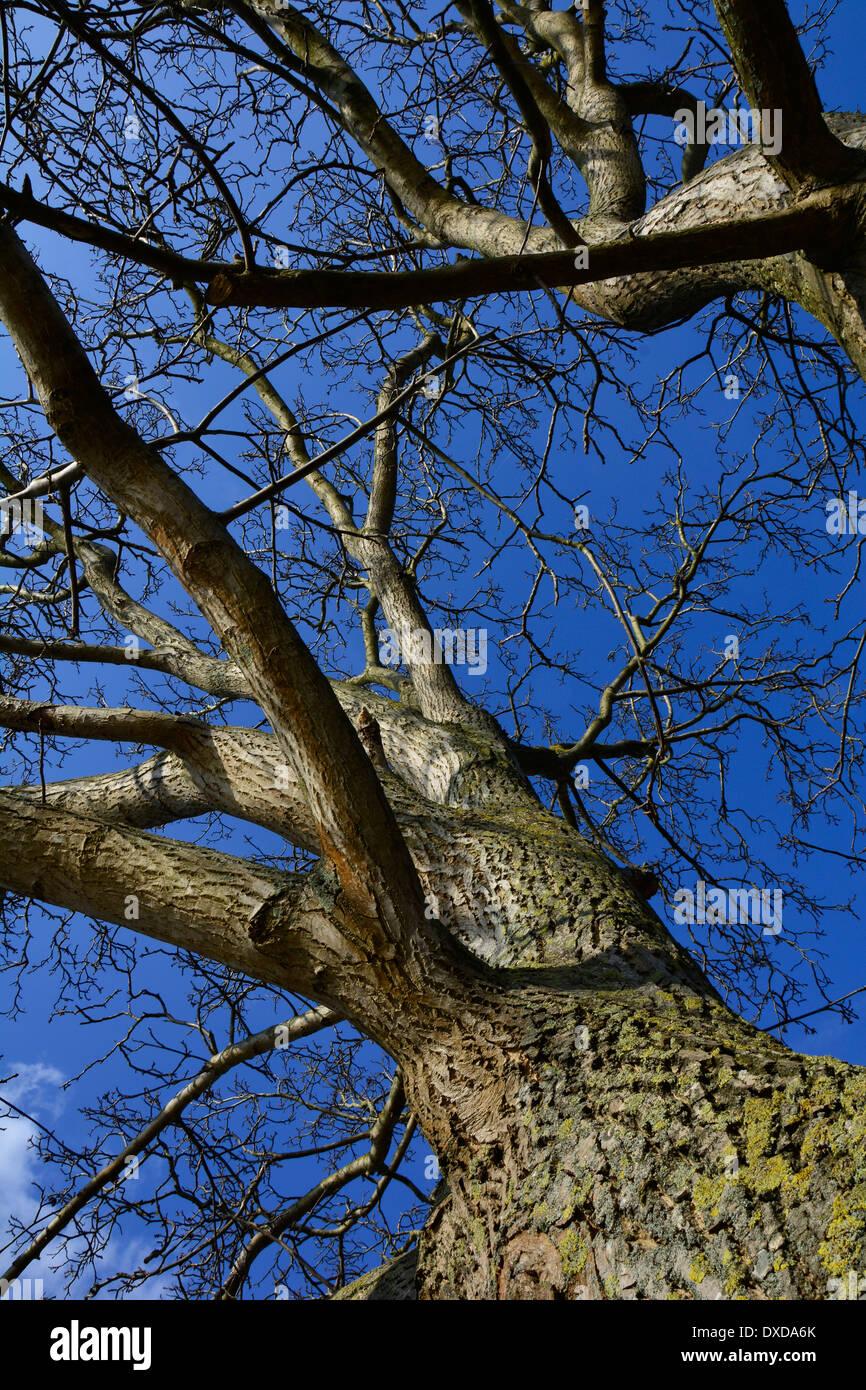 View on a big old tree trunk without leaves and blue sky Germany Blick auf einen großen alten Baum Baumstamm mit blauem Himmel Stock Photo